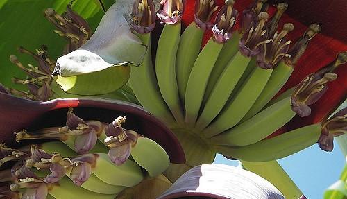 Cold-resistant banana farm promotes social cause