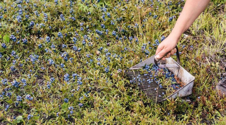 Good news for wild blueberries in Maine