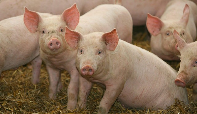 Swine fever epidemic continues in Japan