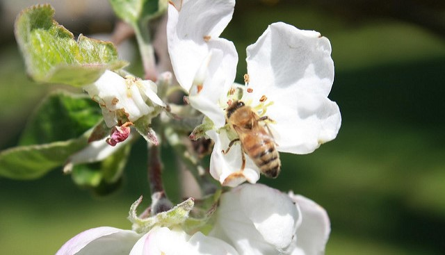 Orchards in natural habitats draw bee diversity