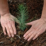 tree planting (Stock image via Pacific Southwest Region 5, Flickr/Creative Commons)