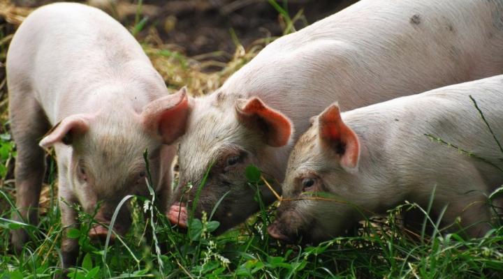 Pork industry renews We Care commitment