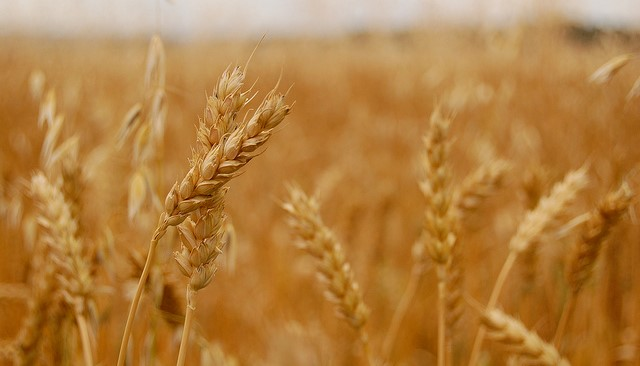 NWF opens 2019 National Wheat Yield Contest