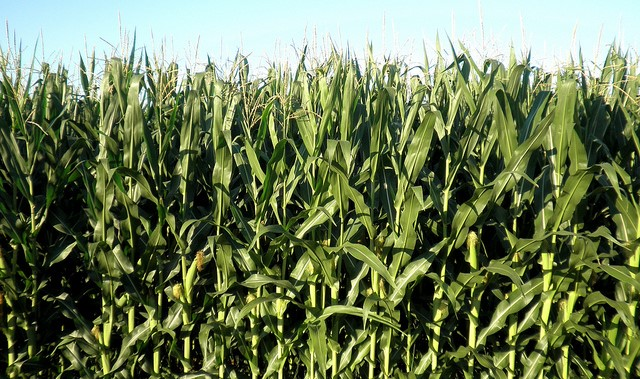 Maine corn growers had a banner summer