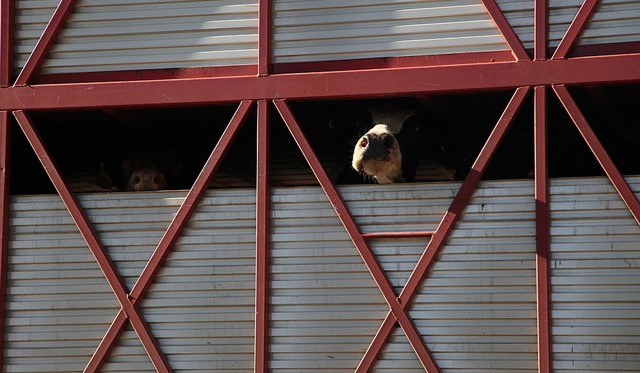 Exemptions for livestock haulers raise concerns