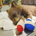This cub was injured in the forest fire near Durango, Colo., last summer. This photo is from June 2018. The bear is healed and was placed back in the wild in a human-made den on Jan. 25. (Courtesy of Colorado Parks & Wildlife)
