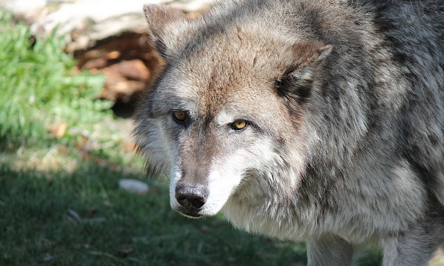 Judge upholds protection for gray wolves
