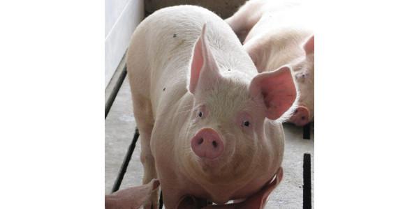 Secure Pork Supply (SPS) workshops for producers