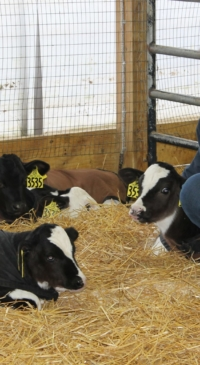 Winter season best practices for dairy calf health