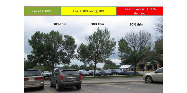 If your tree has lost less than 30% of its canopy hire a professional toprotect the tree. (Courtesy of Purdue University)