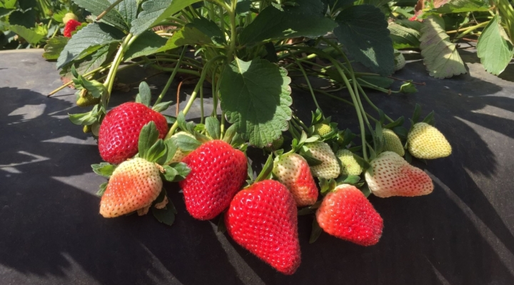 'Florida Brilliance' shines on strawberry industry