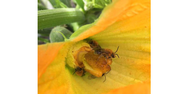 The squash bee is a unique insect because it naturally occurs in most squash productions in Michigan and must find squash pollen to feed its young. (Photo by Zsofia Szendrei, MSU Entomology)