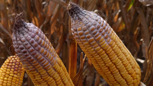 Corn toxin could affect 2019 crop