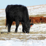 Acceptable substitute supplementation for distillers grains depends on the class of livestock fed, the basal diet available, and the desired performance. (Photo credit Troy Walz)