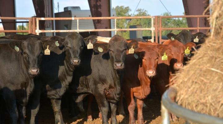 Beef Cattle Short Course set for Jan. 8, Jan. 15