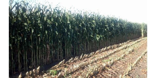 Interest in corn silage as feed for cattle is growing. (NDSU photo)