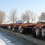 Serious consequences can result from not providing pregnant cows with enough protein during the winter. (NDSU photo)