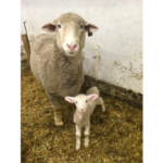 A healthy lamb and caring ewe are important parts of a sheep operation. (NDSU photo)