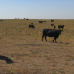 North Dakota cattle producers faced drought conditions in 2017 and 2018. (NDSU photo)