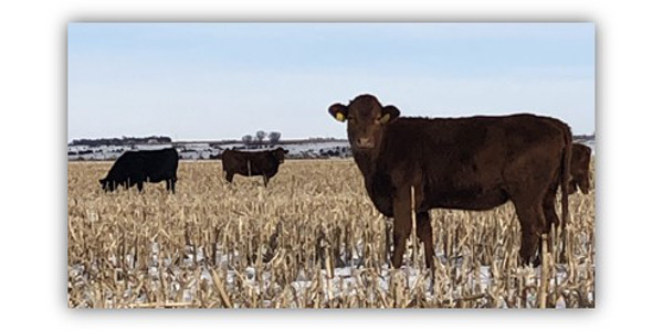 The NCTA cow herd grazes on cornstalks at the campus farm in Curtis, Nebraska. (A. Crouse/NCTA News Photo)