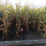 pipe-irrigated-field-corn-wc-NE