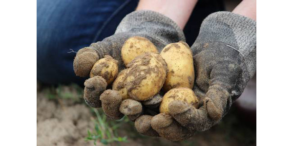 A tablestock potato variety trial in Michigan's Presque Isle County showcased 48 different varieties of russet, red, yellow, round white and novelty type tubers. (Courtesy of Michigan State University Extension)