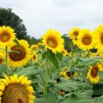Sunflowers can make a good addition to an agritourism operation. (Photo by Edward Sikora, Auburn University, Bugwood.org)