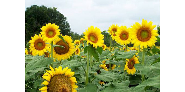Sunflowers can make a good addition to an agritourism operation. (Photo by Edward Sikora, Auburn University, Bugwood.org)