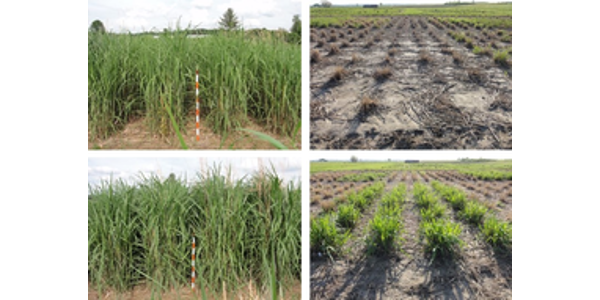Top row: Miscanthus 'Illinois' before and after the 2013-2014 winter in Urbana. Bottom row: Miscanthus 'Nagara' before and after the same winter. (Courtesy of University of Illinois)