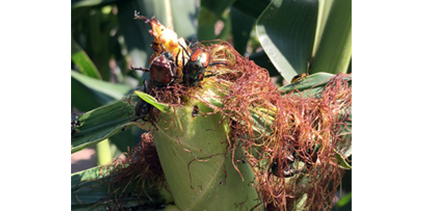Japanese beetles and other insect pests on corn. (Courtesy of University of Illinois Extension)