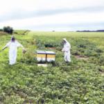 Graduate students Andrea Vagas Castano, left and Shane Stiles assess the impact Brassica carinata has on hive health. (Courtesy of South Dakota State University)