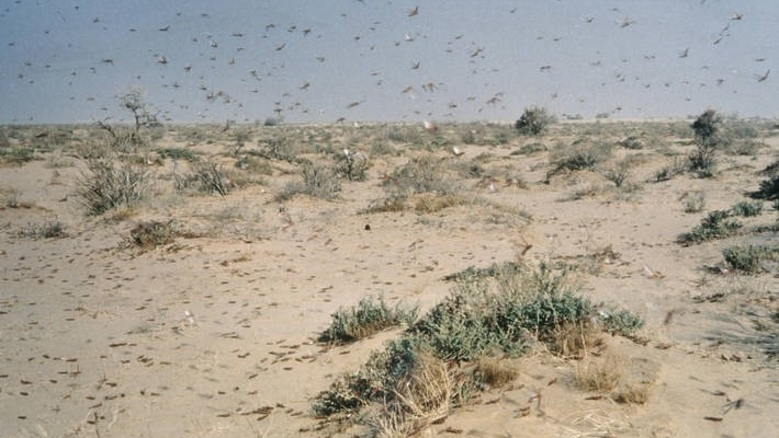 FAO sounds alarm on locust outbreak
