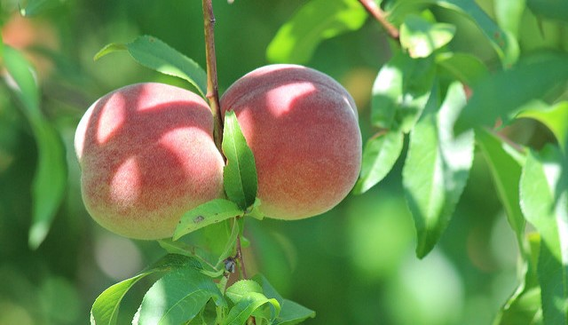 Peach farmers launch social media channels