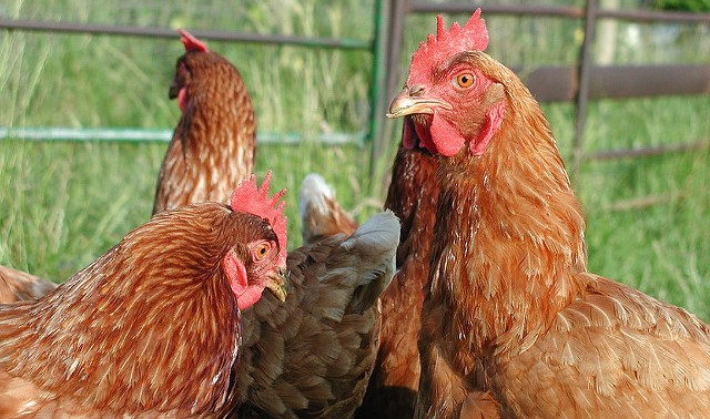Southern Calif. poultry quarantine expanded