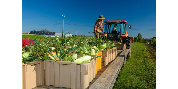 2018 sweet corn harvest at the UK Horticulture Research Farm for UK's CSA. (Photo by Matt Barton, UK agricultural communications)
