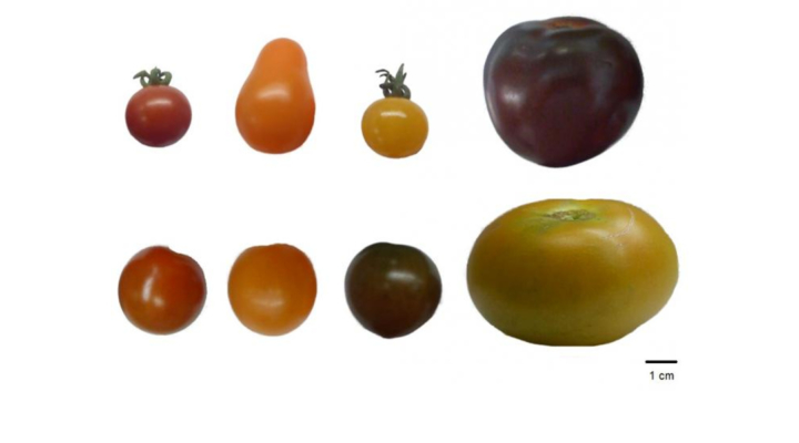 Comparing antioxidants in different color tomatoes