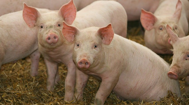Swine fever spreads in Japan