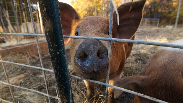 UMaine Extension offers Pork 101