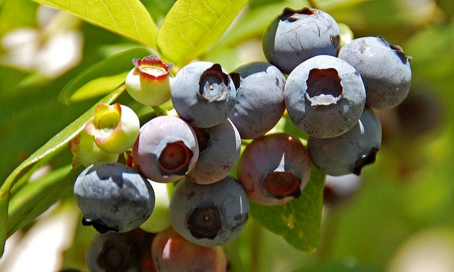 March blueberry intensive workshops planned