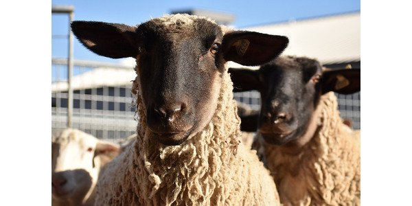 K-State hosts Sheep Producer Day on March 23