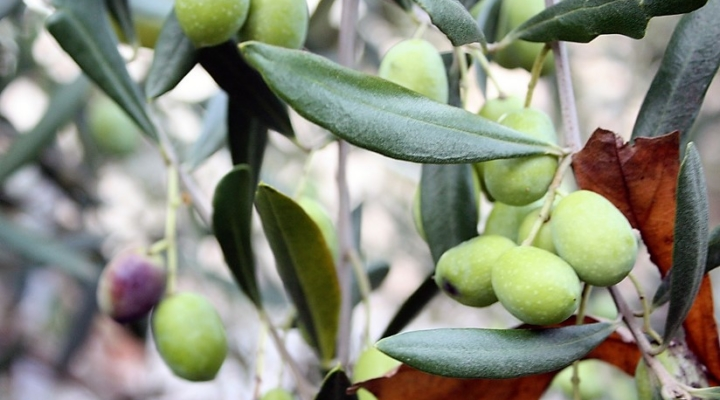 Annual Olive Oil Day planned for March 5 | Morning Ag Clips