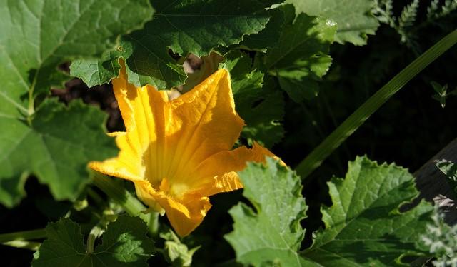 Garden vegetables can attract pollinators, too