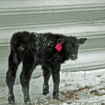 In cold and windy situations, protection for livestock will reduce cold stress and aid in calving success and energy requirements. (Photo credit Troy Walz)