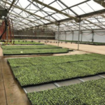 """Michigan State University Extension entomology specialist for ornamentals David Smitley has released his """"2019 Greenhouse Insect Management"""" recommendations. (Photo by Heidi Lindberg, MSU Extension)"""