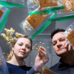 Nebraska's David Holding (right) and Leandra Marshall (left) are developing lines of popcorn featuring higher levels of lysine, an amino acid essential to the diets of humans and some livestock. (Photo by Craig Chandler, University Communication)