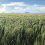 University of Minnesota Extension is offering six Small Grain Winter Workshops across Central and Southern MN in February to address small grain production. (Courtesy of University of Minnesota Extension)