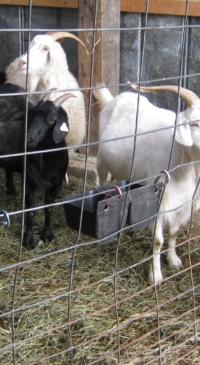 Tompkins 4-H to start Fiber Goat Club