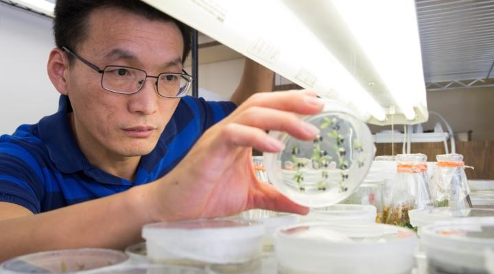 Developing a new greening-tolerant citrus