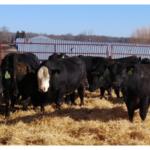 Some Senior bulls in the program. (Courtesy of Michigan Cattlemen's Association)