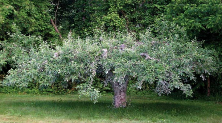Reviving wild apple trees March 16